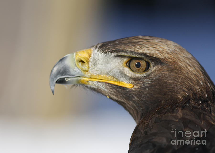 Eye Photograph - Majestic Golden Eagle by Inspired Nature Photography Fine Art Photography