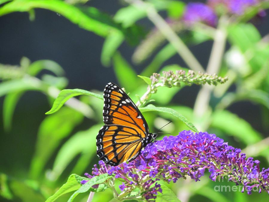 Majestic Monarch Butterfly Photograph