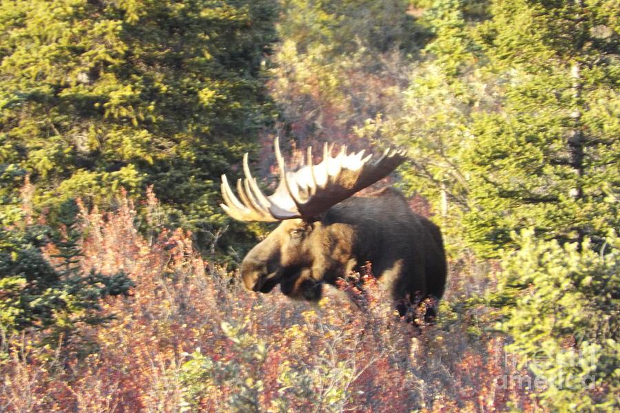Moose Photograph - Majestic Moose by Barbara Von Pagel