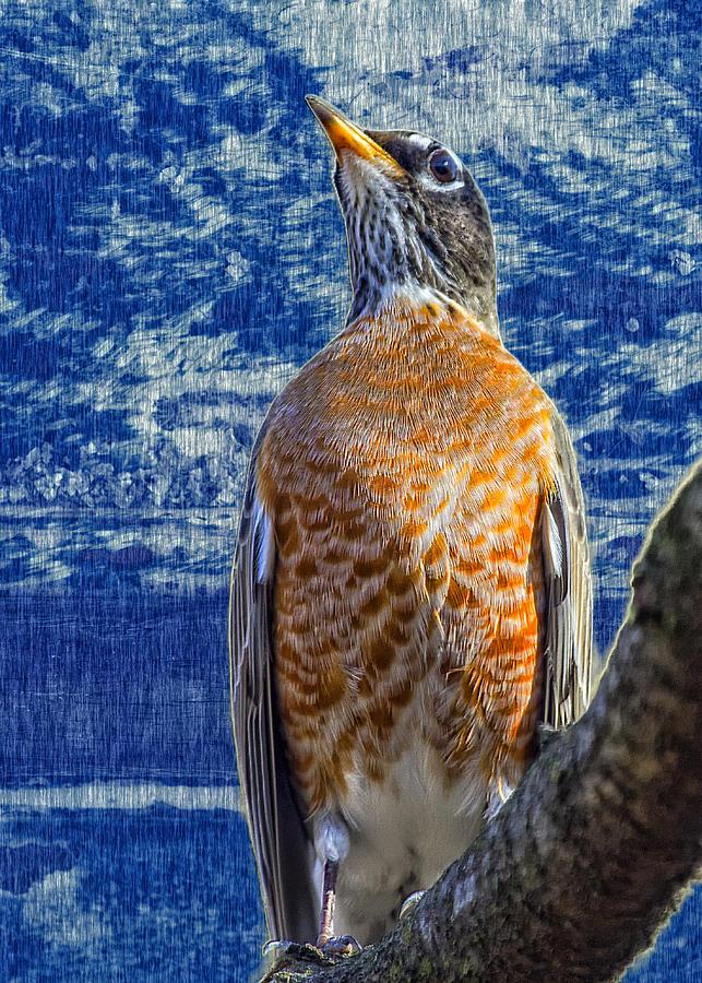 Robin Photograph - Majestic Robin Blues by Bill Tiepelman
