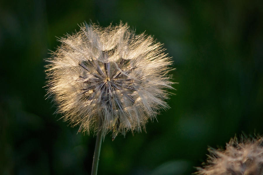 Dandelion Photograph - Make A Wish by Linda Storm