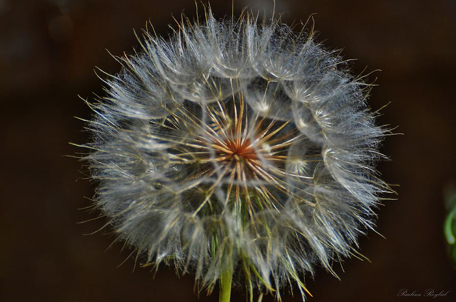 Flower Photograph - Make A Wish by Paulina Roybal
