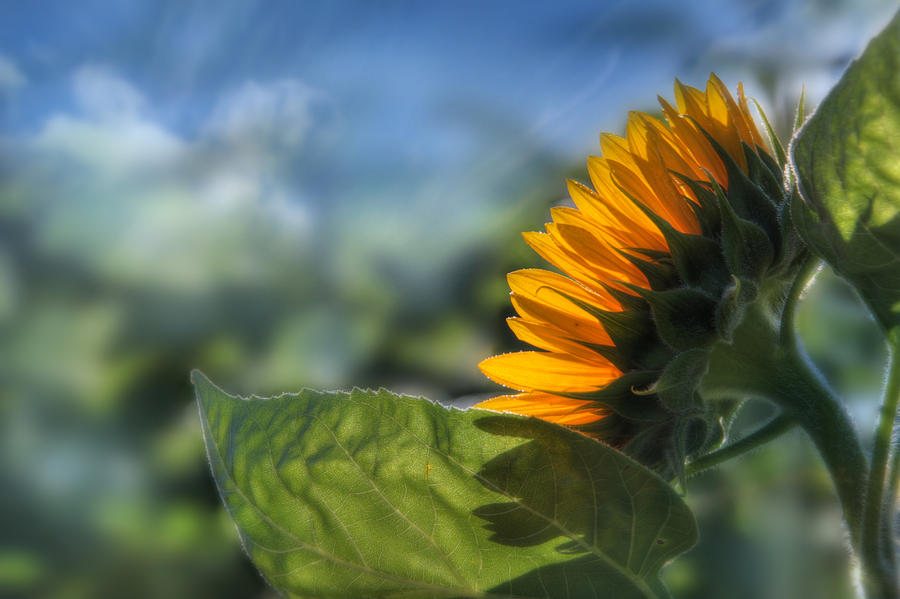 Sunflower Photograph - Make Each Day Count by Lori Deiter
