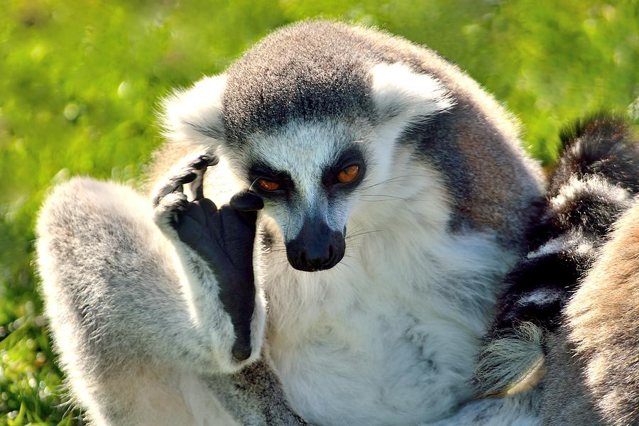 Lemur Photograph - Maki Catta  by Patrick Pestre