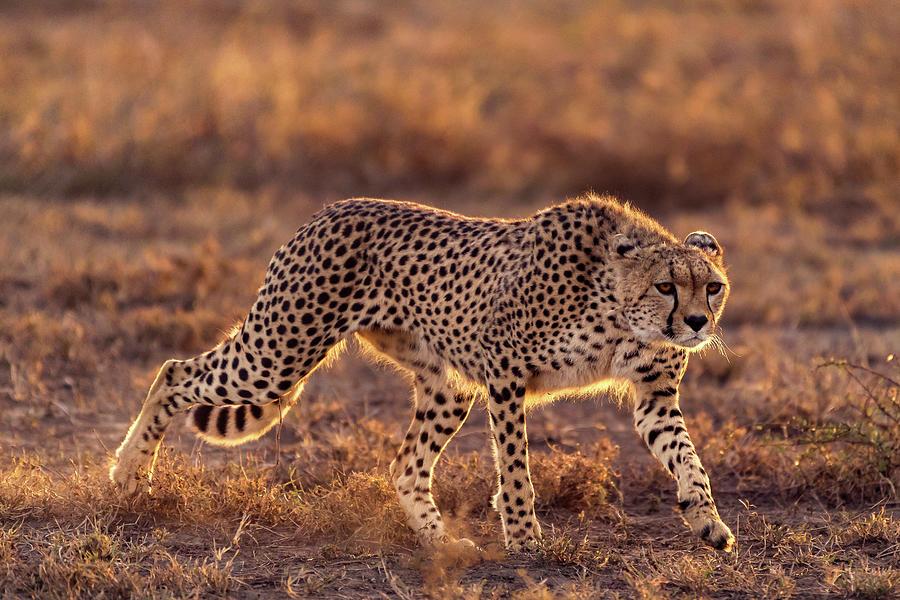 Cheetah Photograph - Making The Moment by Hani Almarhoun
