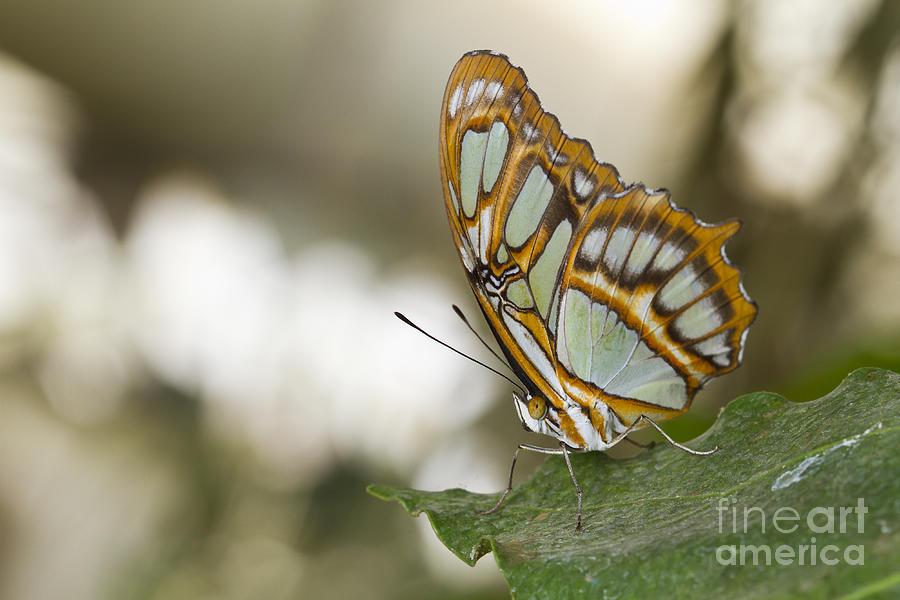 Malachite Photograph - Malachite Butterfly by Bryan Keil