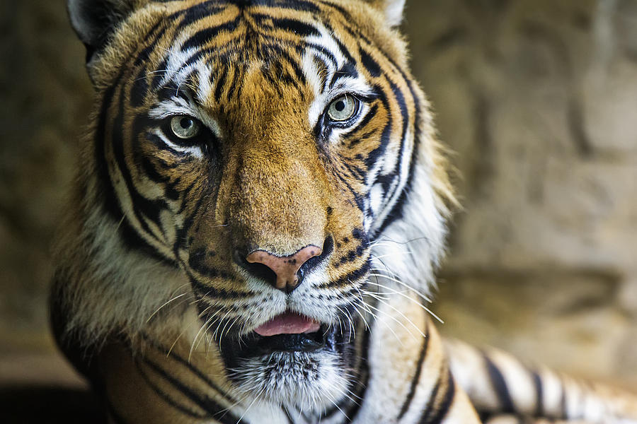 comparison between the tyger and the lamb The tyger has the power to do anything it wants - it burns bright what immortal hand or eye could frame thy fearful symmetry the immortal hand is referring to god.