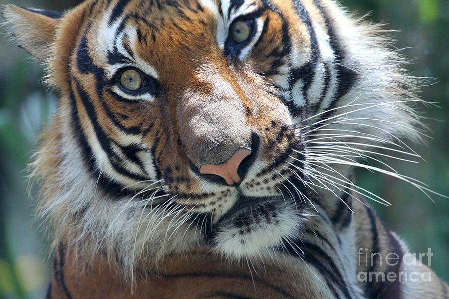 Malayan Tiger by Meg Rousher