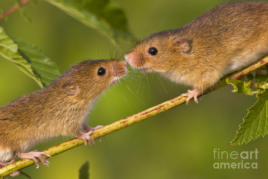 Eurasian Harvest Mouse Photograph - Male And Female Harvest Mice by Jean-Louis Klein and Marie-Luce Hubert