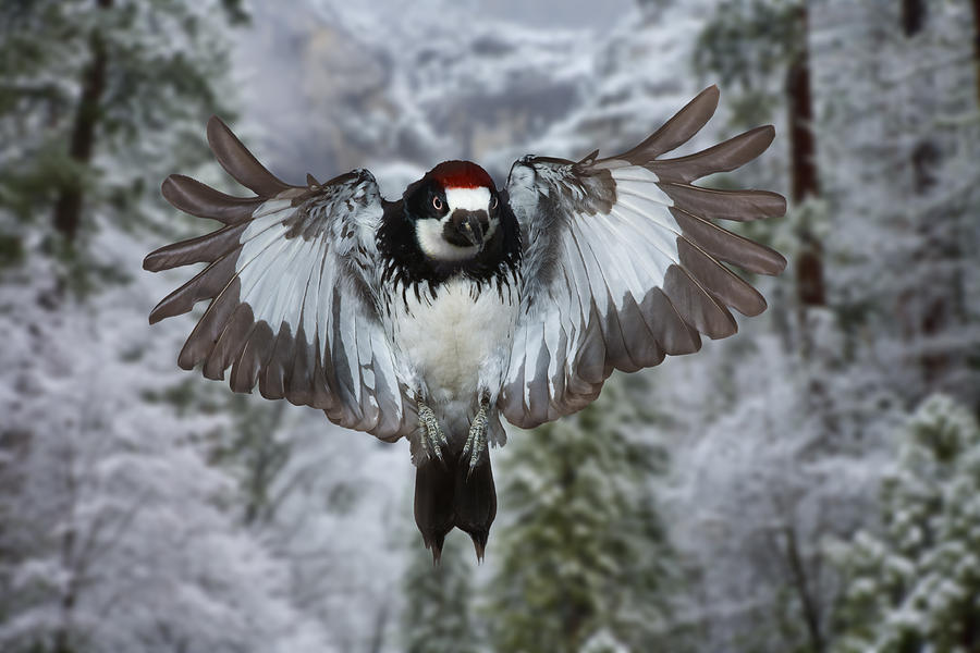 male acorn woodpecker gregory scott