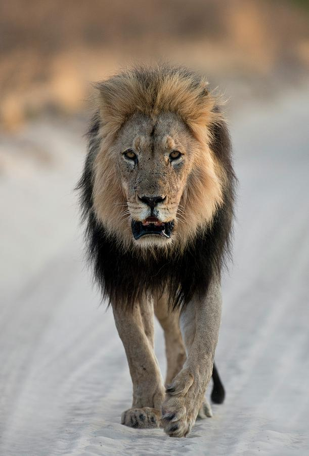 male african lion walking photograph by tony camacho