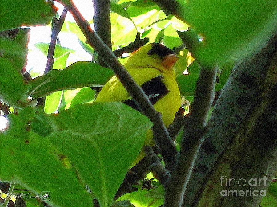 American Goldfinch Painting - Male American Goldfinch by J McCombie