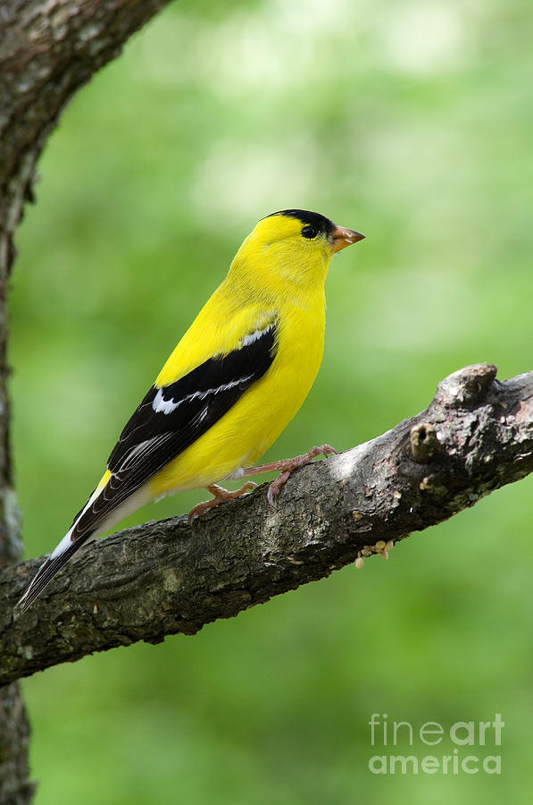 American Goldfinch Photograph - Male American Goldfinch by Thomas R Fletcher