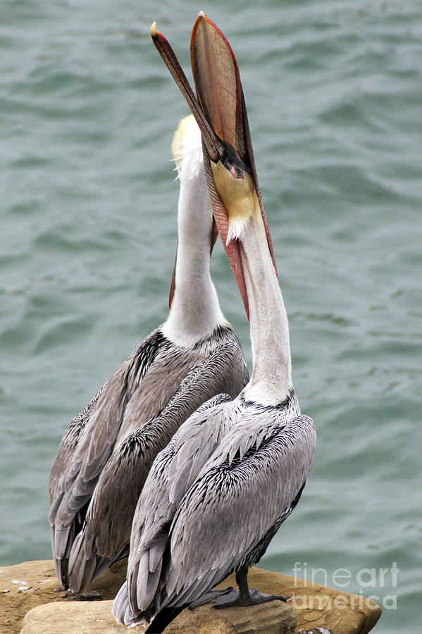 Brown Photograph - Male Brown Pelican Neck Exercise by Darleen Stry