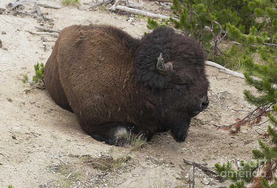 Bison Photograph - Male Buffalo At Hot Springs by Belinda Greb