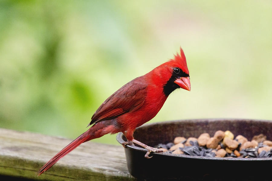 Grass Photograph - Male Cardinal Dinner Time by Dana Moyer