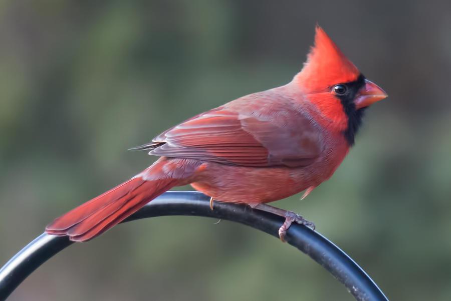 Cardinal Photograph - Male Cardinal by John Kunze