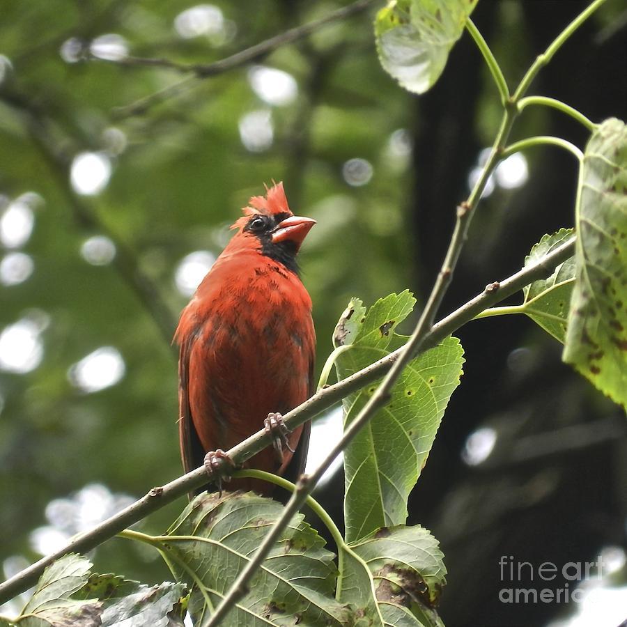 Bird Photograph - Male Cardinal by Lori Amway