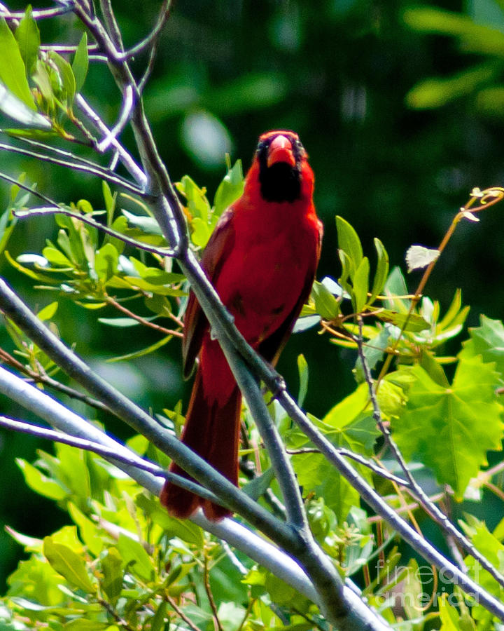 Red Photograph - Male Cardinal by Stephen Whalen