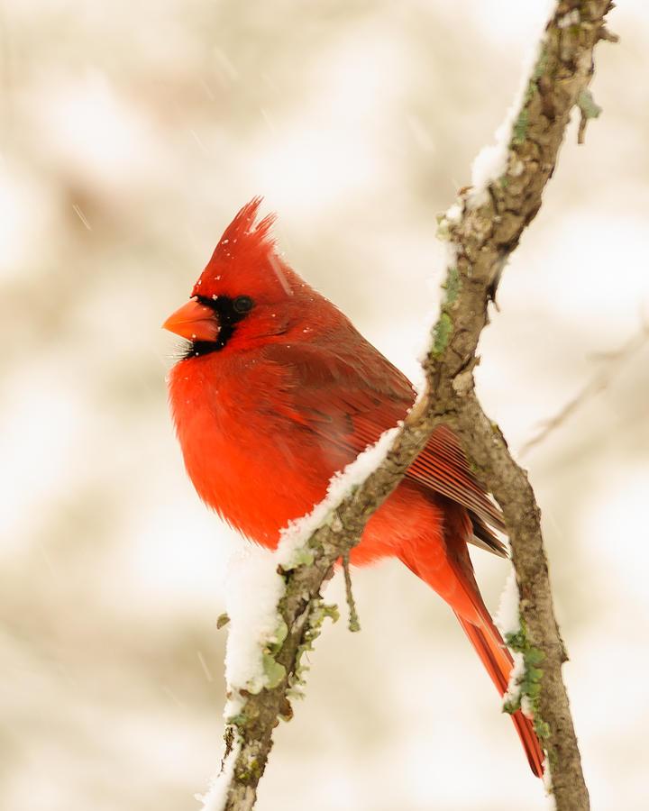 Male Photograph - Male Cardinal by Thomas Pettengill