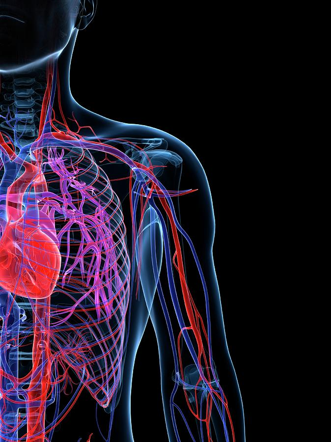 Male Cardiovascular System, Artwork Digital Art by Science Photo Library - Sciepro