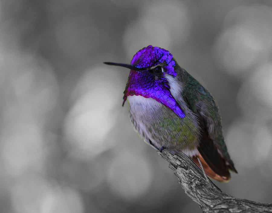 Male Photograph - Male Costas Hummingbird by Old Pueblo Photography