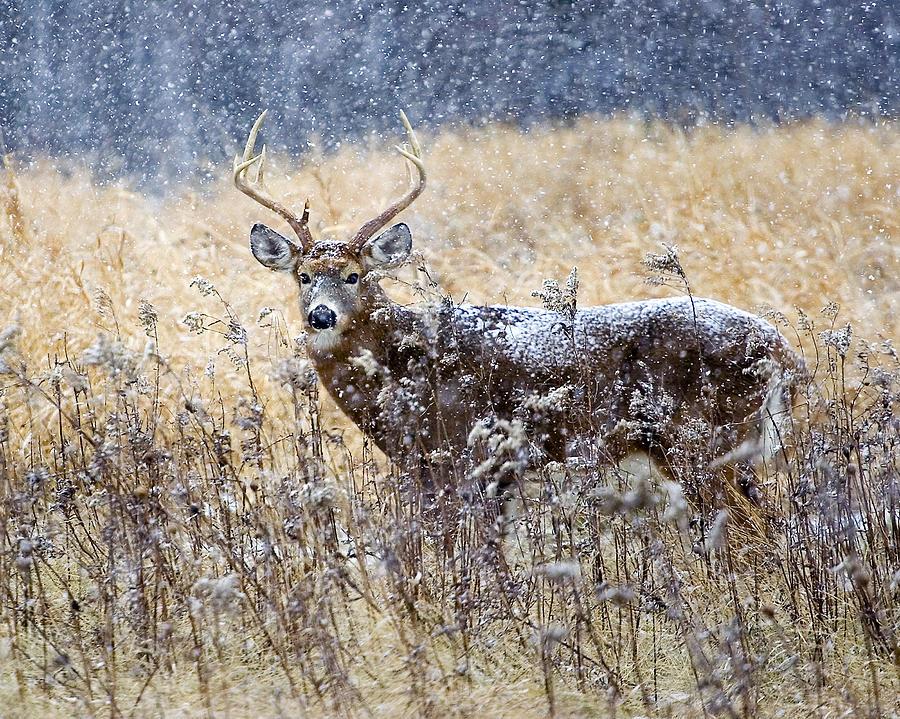 Male Photograph - Male deer by Rachel Bilodeau