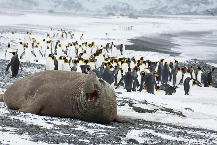 Male Elephant Seal On The Shore At Photograph by Darrell Gulin