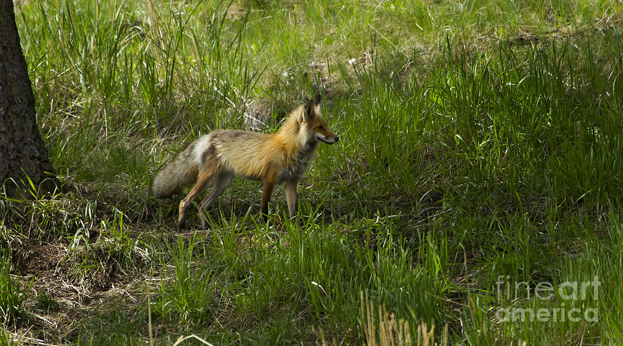 Fox Photograph - Male Fox   #3521 by J L Woody Wooden