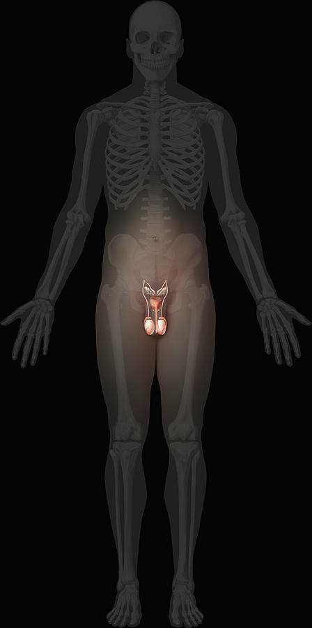 Male Genital Organs Photograph By Qa International Universal