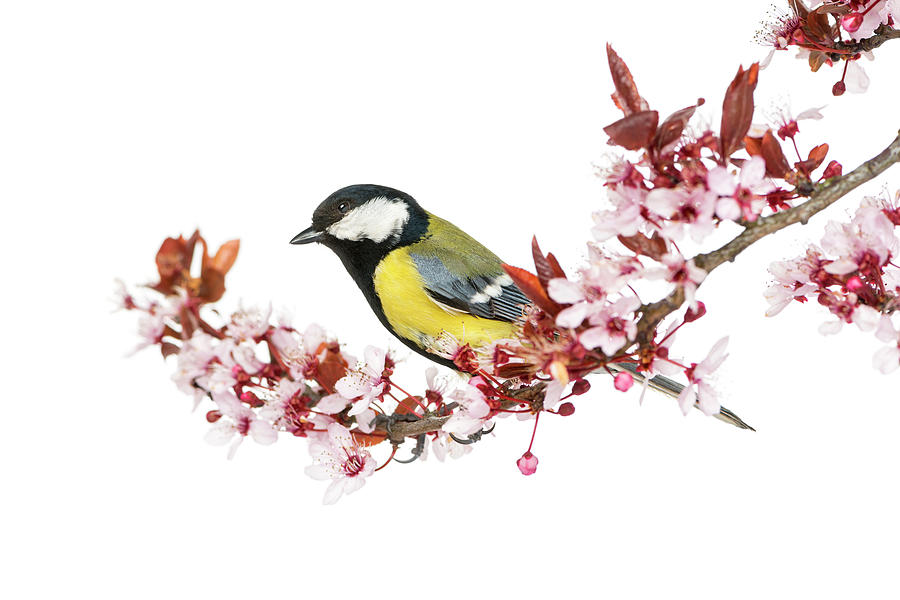 Male Great Tit Perched On A Branch Photograph by Life On White