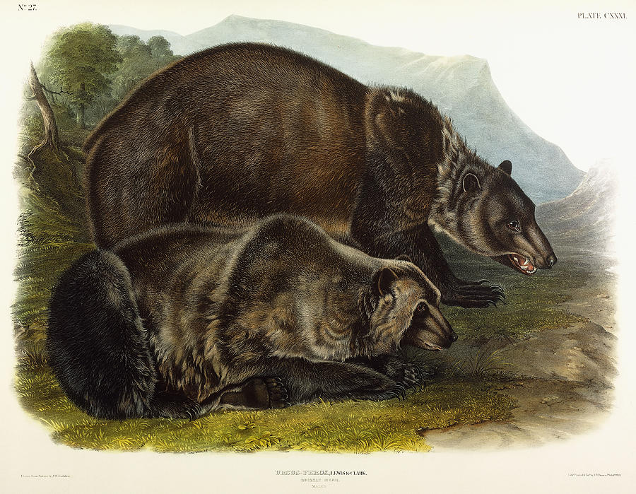 Male Painting - Male Grizzly Bear by Audubon