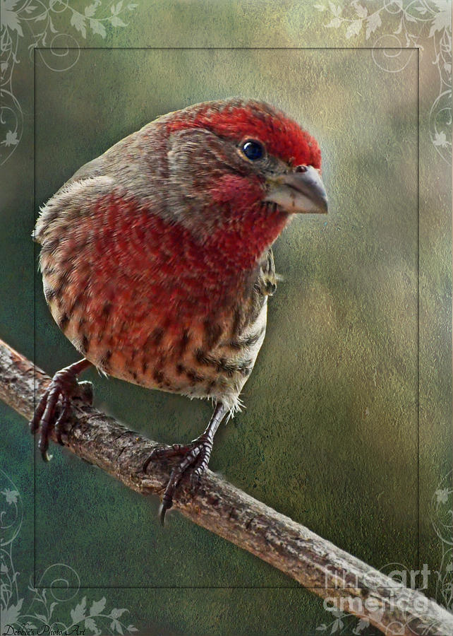 Nature Photograph - Male Housefinch With Green Texture And Decorations by Debbie Portwood