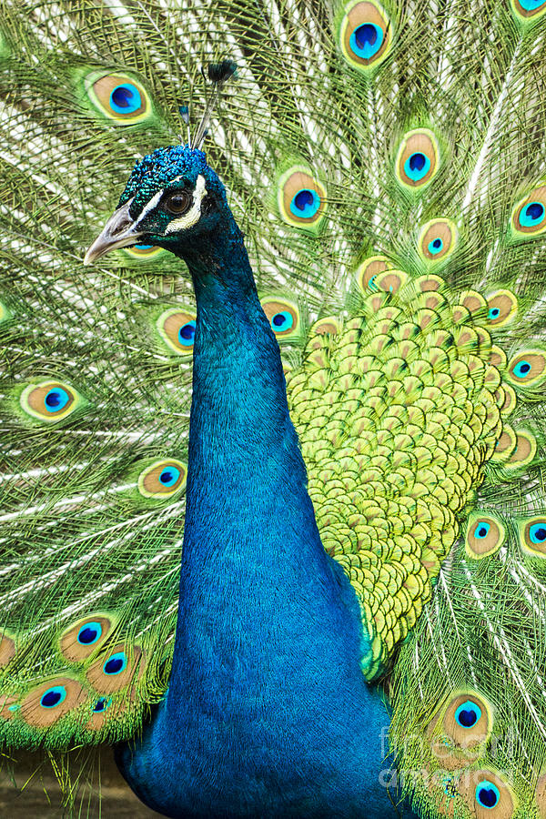 Peacock Photograph - Male Indian Peacock by Darleen Stry
