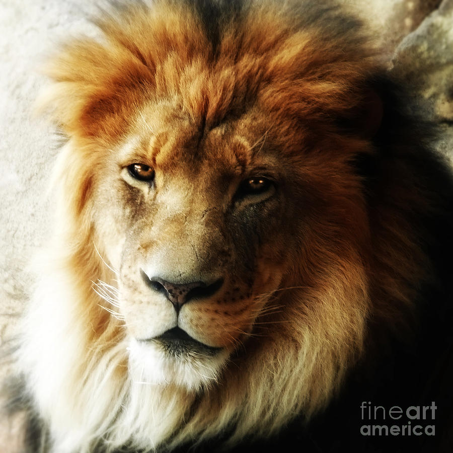 Male Lion Face Close Up Photograph by Elle Arden Walby