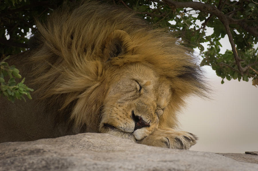 Horizontal Photograph - Male Lion Sleeping Under Tree Head Shot by Animal Images
