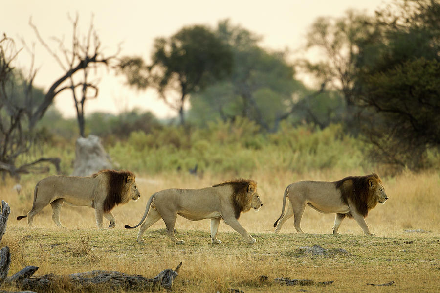 Wildlife Reserve Photograph - Male Lions At Dawn, Moremi Game by WorldFoto