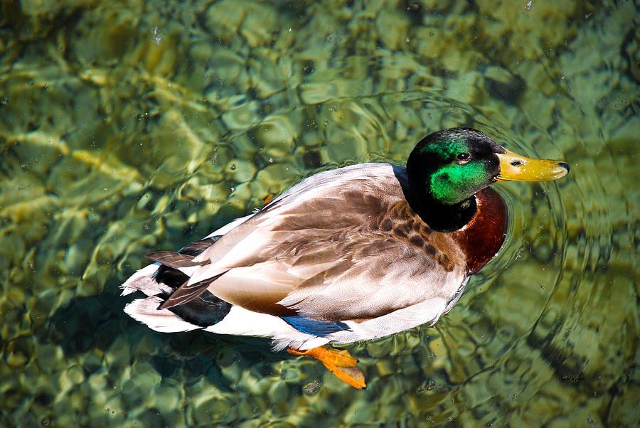 Male Mallard Swimming Photograph