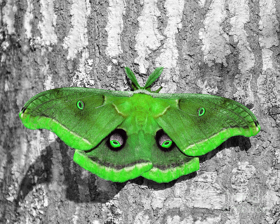 Moth Photograph - Male Moth Green by Al Powell Photography USA