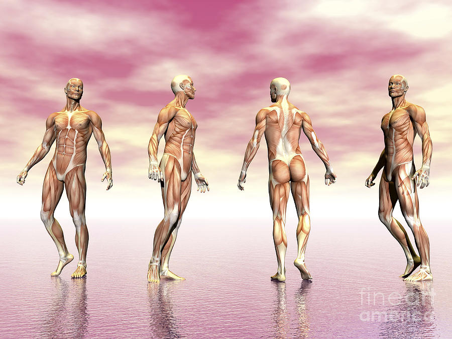 Anatomy Digital Art - Male Muscular System From Four Points by Elena Duvernay