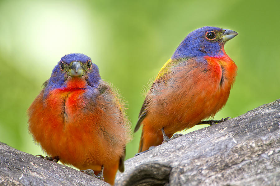 Painted Buntings Photograph - Male Painting Buntings by Bonnie Barry