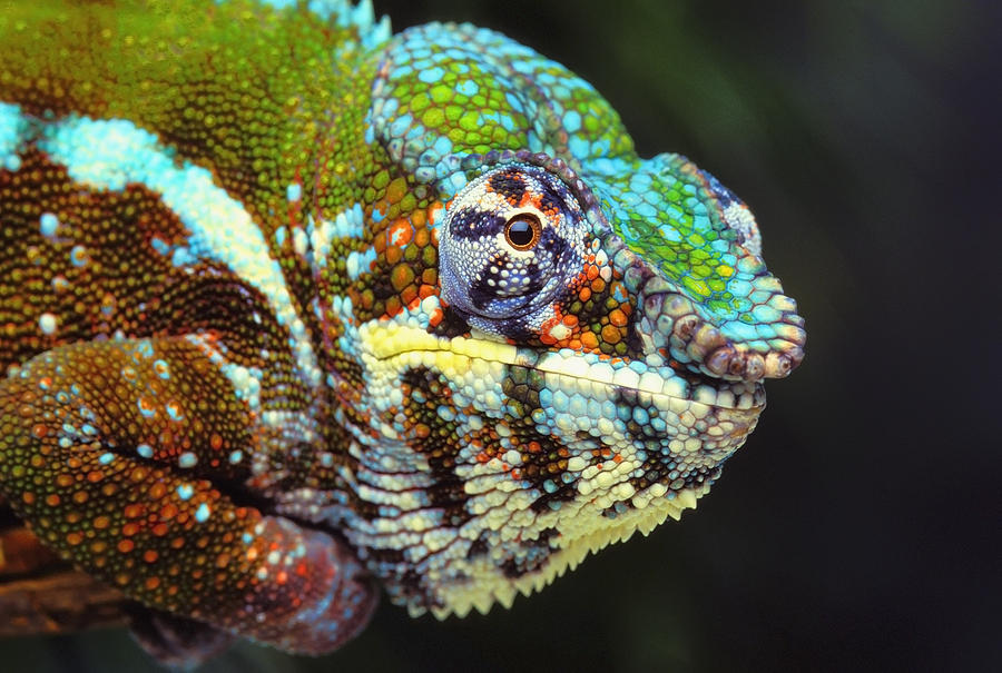 Lizard Photograph - Male Panther Chameleon Furcifer by Thomas Kitchin & Victoria Hurst
