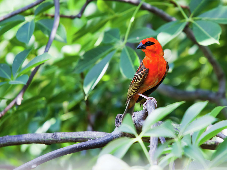 Male Red Fody Bird On The Tree Branch Photograph by Stocknshares