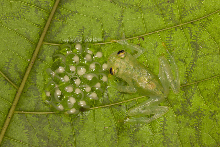 Male Reticulated Glass Frog  Guarding Photograph by Ingo Arndt