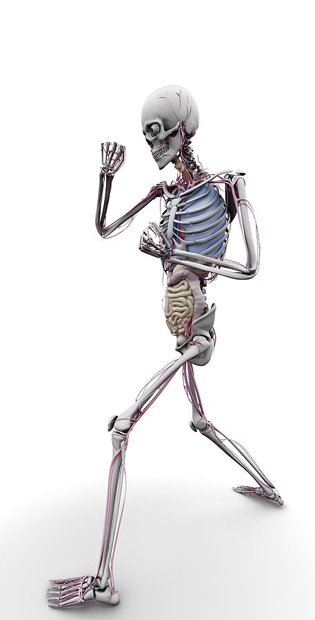 Skeleton Photograph - Male Skeleton And Organs, Artwork by Science Photo Library