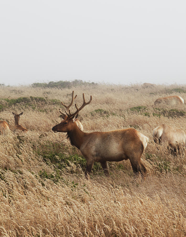 Male Tule Elk With Herd Photograph by Paul Taylor