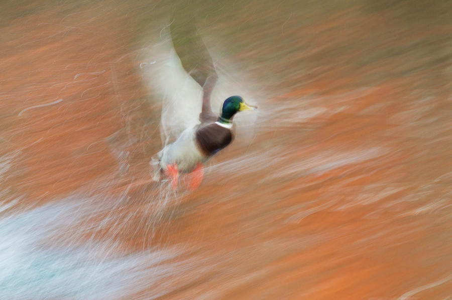 Anas Platyrhynchos Photograph - Mallard Drake, Taking Flight In Slow by Ken Archer