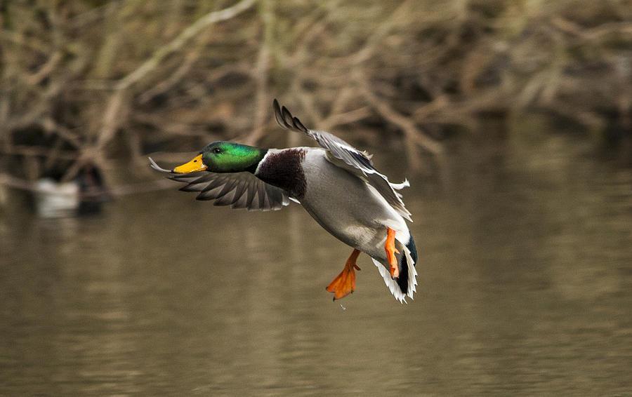 Mallard Duck Landing O...