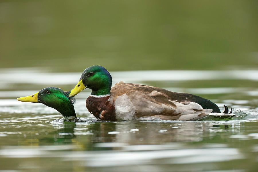 Sex a duckling