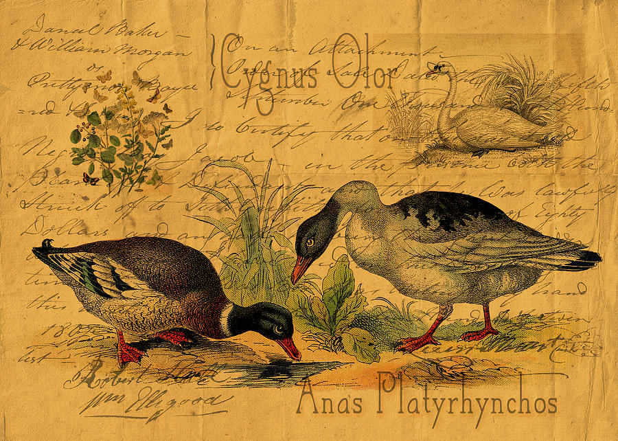 Mallards Digital Art - Mallards And Swan Collage by Sarah Vernon